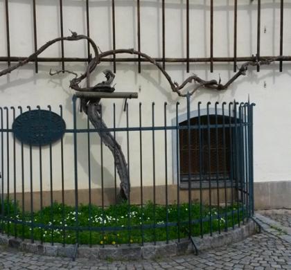 Vite vecchia fa buon vino: Stara-Trta @ Maribor