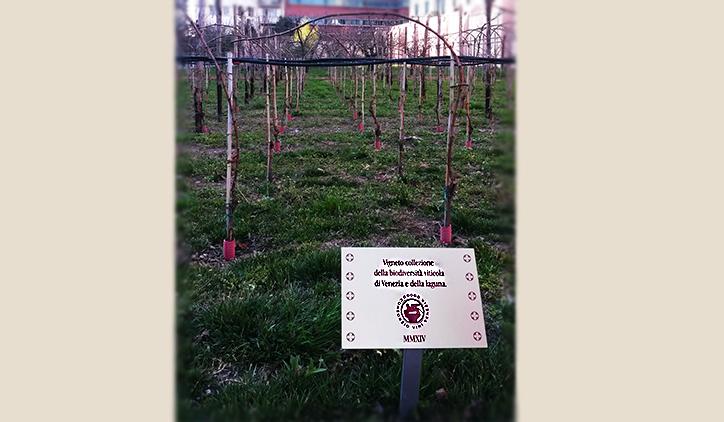 Uno scrigno di viti a Venezia: l'orto dei Carmelitani Scalzi